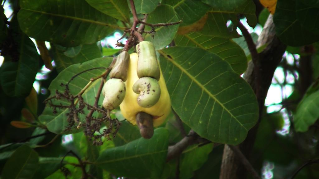 190525_cashew2